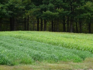 Cover Crops—preparing the Field for Winter